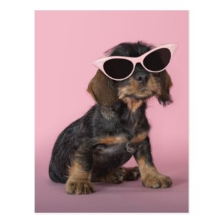 Dachshund puppy wearing sunglasses postcards