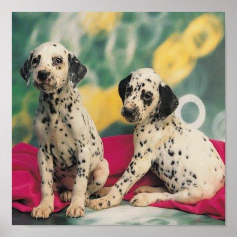 Dalmatian Puppies Poster