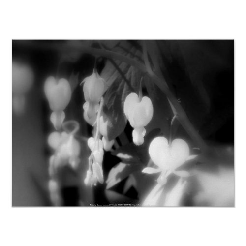 elegant white bleeding hearts, black and white, da print