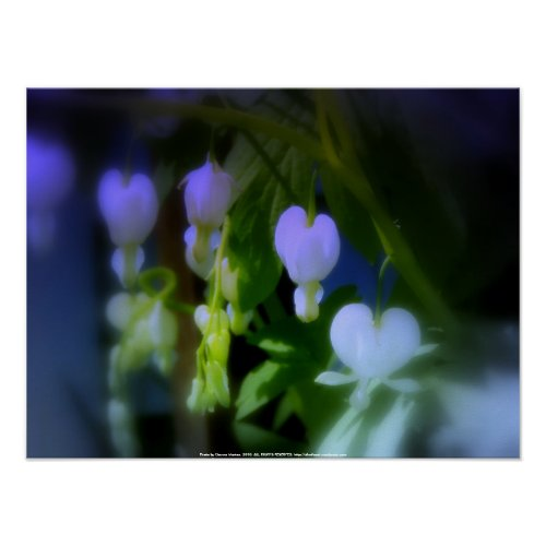 elegant white bleeding hearts, blue print