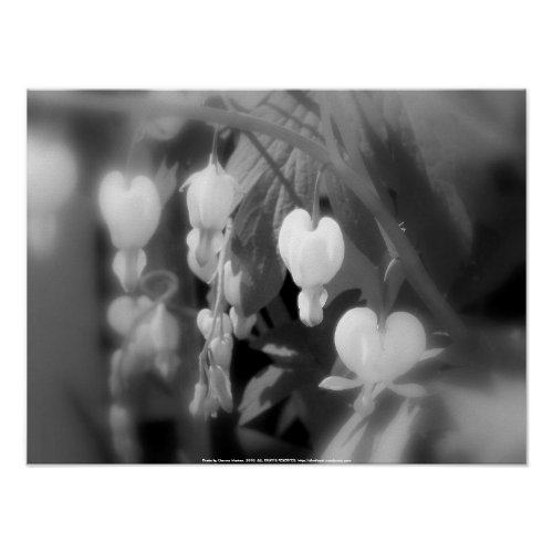 elegant white bleeding hearts, filtered black and print