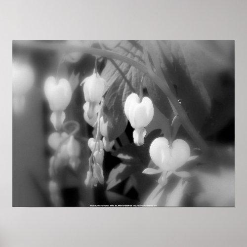 elegant white bleeding hearts, filtered black and print