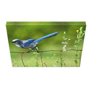 Florida Scrub Jay Canvas Print