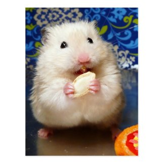 Fluffy syrian hamster Kokolinka eating a seed Post Cards
