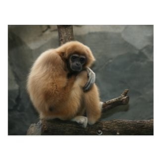 Fluffy white-handed lar gibbon post card
