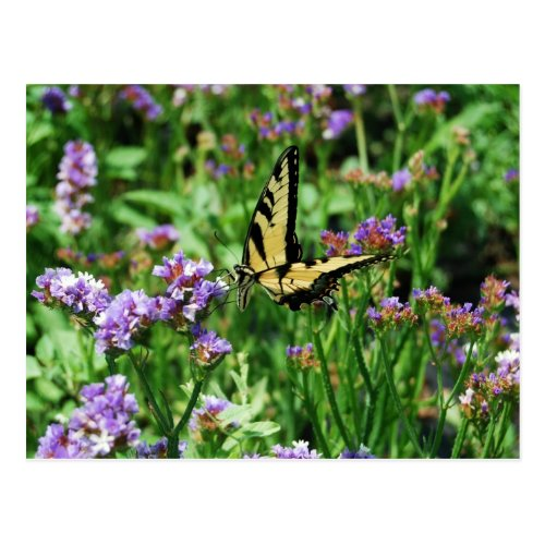 Giant Swallowtail Butterfly on Purple Statice Postcards
