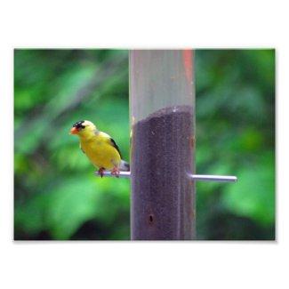 Goldfinch Art Photo