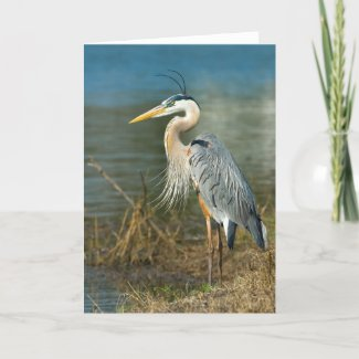 Great Blue Heron Card card