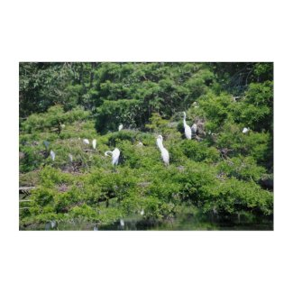 Great Egrets in swamp in South Carolina Acrylic Wall Art