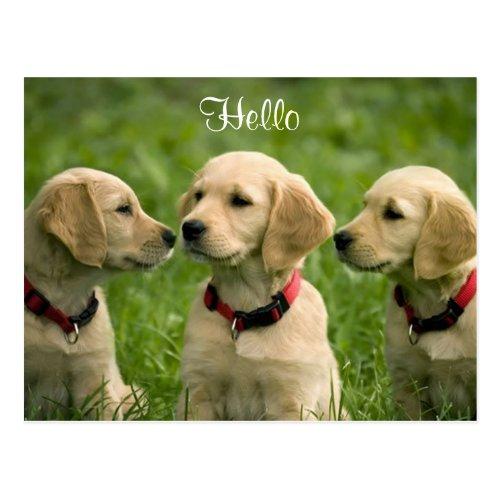 Hello Golden Retriever Puppies Postcard