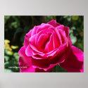 Hot Pink Rose Print