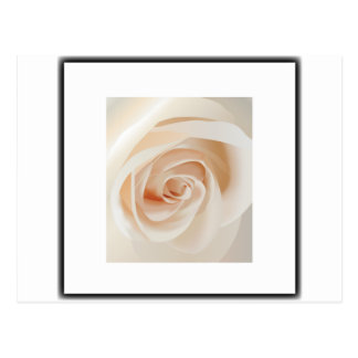 Ivory Rose Post Card