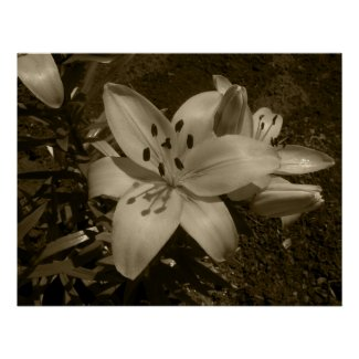 Lilies Poster print