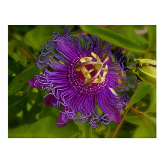 Lilikoi or Passion Flower Postcard