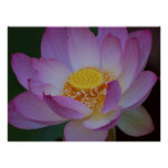 Lotus flower and its meaning poster | Zazzle