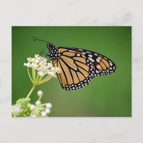 Monarch Butterfly on White Swamp Milkweed Postcard postcard