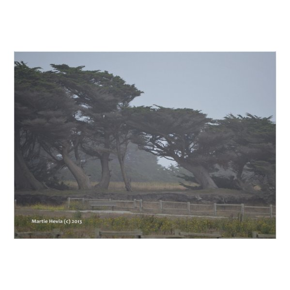 Monterey Cypresses Poster