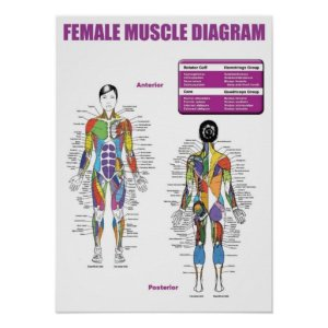Muscle Diagram  Gym Poster | Zazzle