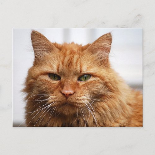 Norwegian Forest Cat postcard
