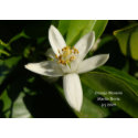 Orange Blossom - California Gardens Card zazzle_card