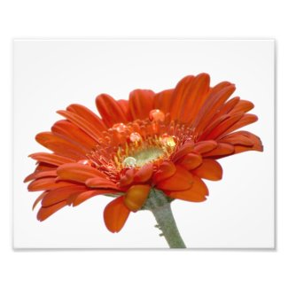 Orange Daisy Gerbera Flower photoenlargement