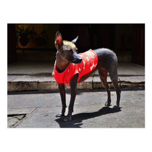 Peruvian Hairless Dog Postcard