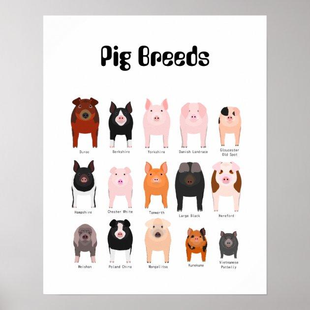 pig breeds poster zazzle com