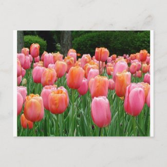 Pink and Peach Tulips Post Cards
