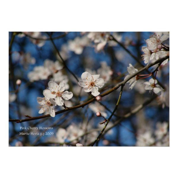 Pink Cherry Blossoms Print