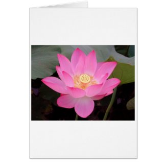 Pink Lotus Flower In Bloom Greeting Cards