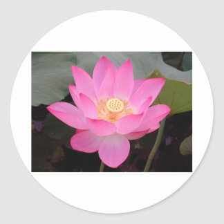 Pink Lotus Flower In Bloom Stickers