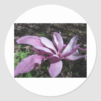 Pink Magnolia In Bloom Round Sticker