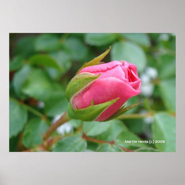 Pink Rose Bud Print