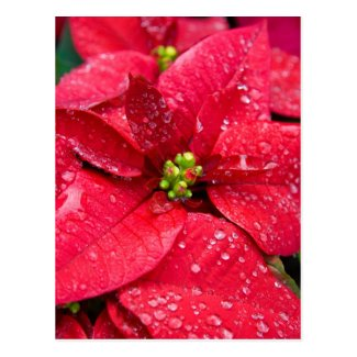 Poinsetta Closeup Postcard