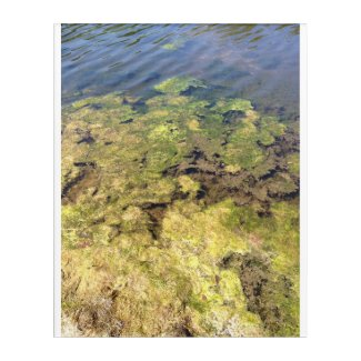 Pond Algae in Ruskin Florida Acrylic Wall Art
