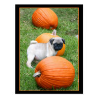 Pug puppy in pumpkins postcard