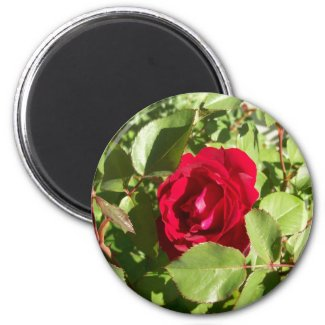 Red Rose Magnet magnet