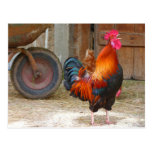 Rhode Island Red Rooster Crowing in Barnyard Postcard