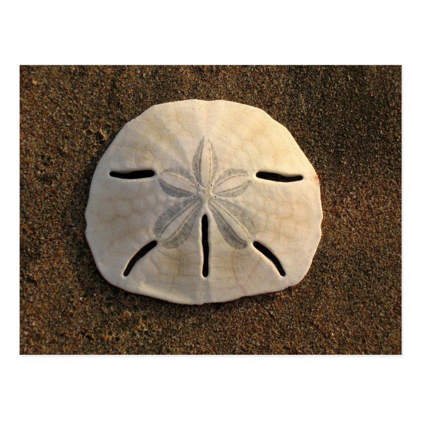Sand Dollar Shell Beach Postcard (Color Photo)