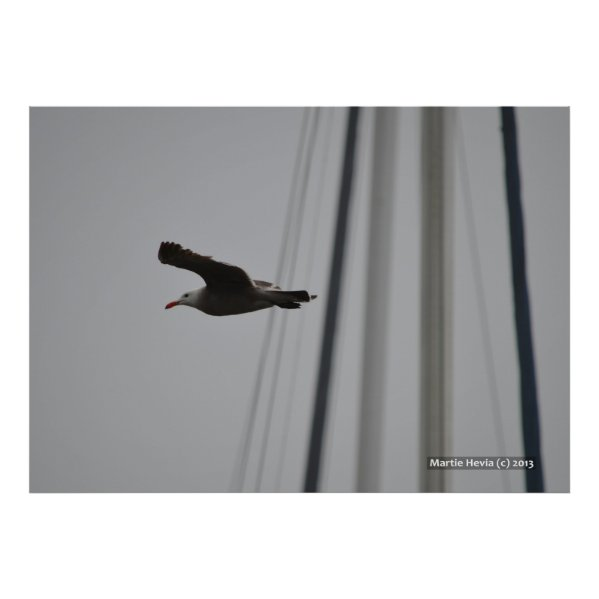 Seagull in Flight III Print
