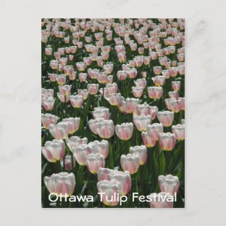 Silver and Pink Tulips postcard