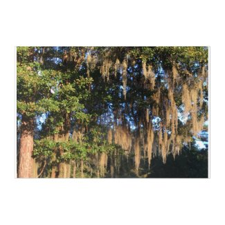 Spanish Moss in waning evening light Acrylic Print