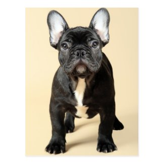 Studio portrait of French bulldog puppy standing Post Card