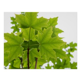 Sugar Maple Leaves Poster print