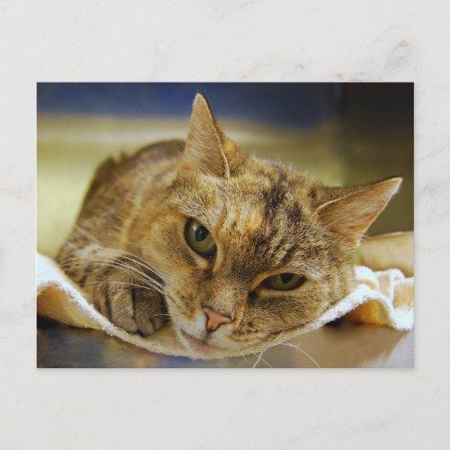 Tabby Princess Postcard postcard