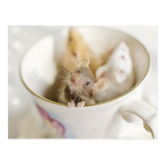 Three little mice siting in cup postcards