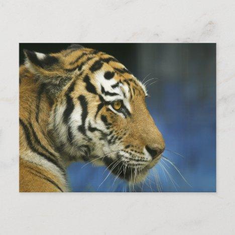 Tiger CloseUp Sideways Photograph Postcard