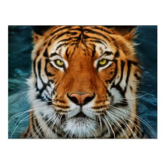 Tiger in Water Photograph Post Card