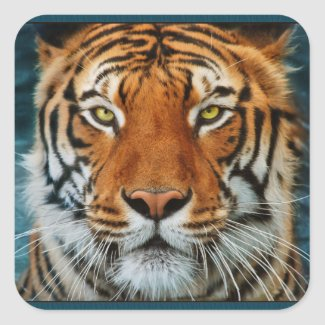 Tiger in Water Photograph Square Stickers