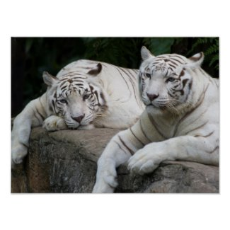 Tiger pair poster